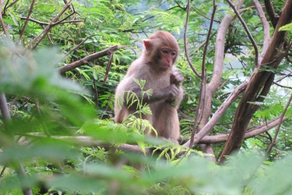 啃树枝的小猴子