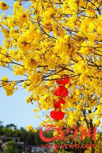 花都區梯面鎮第十屆油菜花旅遊文化節開幕