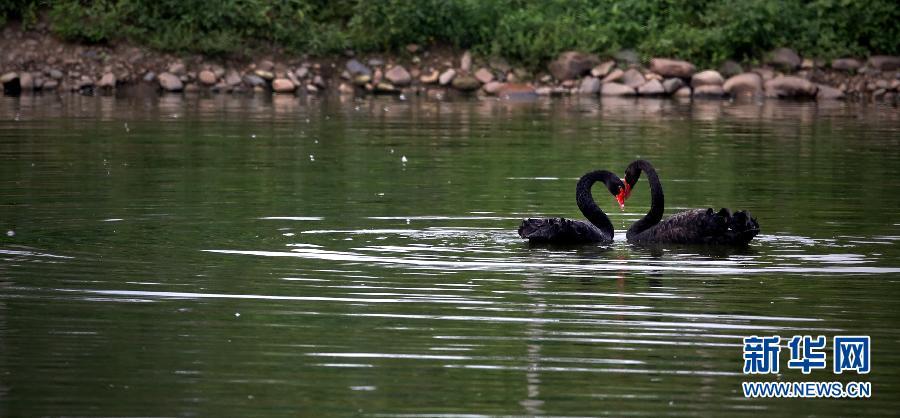 沈阳长白岛黑天鹅种群数量稳步提升