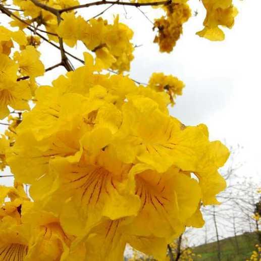 3月8日,东莞松山湖风景区,一排排黄金风铃木黄色花朵绚丽绽放,吸引了