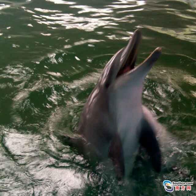 南澎列岛国家级自然保护区又现百头宽吻海豚