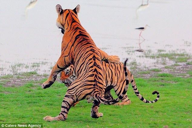 两只老虎歌儿歌视频_
