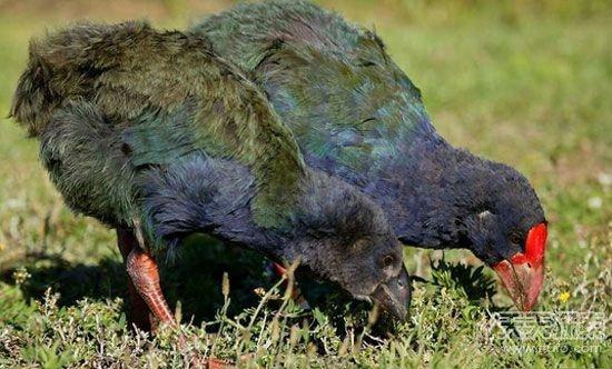 5、南秧鸡   科学家认为,南秧鸡在数百万年前从澳大利亚飞到了新西兰。在新西兰定居之后,南秧鸡的体型逐渐变大,失去了飞行能力。   当老鼠、猫、狗和猪等动物被引进新西兰之后,南秧鸡的种群数量急剧下降。科学家曾认为,在1898年,最后4只野生南秧鸡被杀死了。   多年来有关这种鸟类还继续存在的传言,以及未经确认的目击报告,促使政府和科研机构展开了一次调查。   1948年11月20日,由杰弗里奥贝尔率领的一支团队在默奇森山附近重新发现了南秧鸡。2013年,据估计有260只左右的南秧鸡处在官方的保护之下