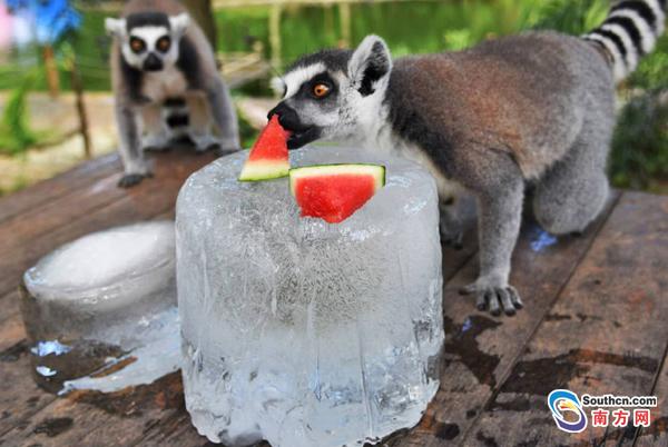 深圳野生动物吃冰块消暑