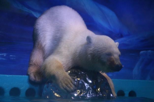 广州唯一北极熊Pizza,在正佳极地海洋世界里开心玩耍。   拥有广州唯一北极熊的正佳极地海洋世界,一不留神又躺枪了!继蒙受正佳漏水、海洋馆坍塌等谣言之后,日前,广州正佳极地海洋世界再次成为舆论焦点,虐待动物话题被引入公众视线。正佳方面在7月24日主动回应称,相关传言并不属实,有人在故意造谣抹黑,他们正在携手各方保障动物福利。   7月24日下午,来自全国多地的10个家庭20多位游客,一起相聚正佳极地海洋世界,饲养员哥哥姐姐们耐心地讲解、指导,手把手地教孩子们给动物明星北极熊Pizza