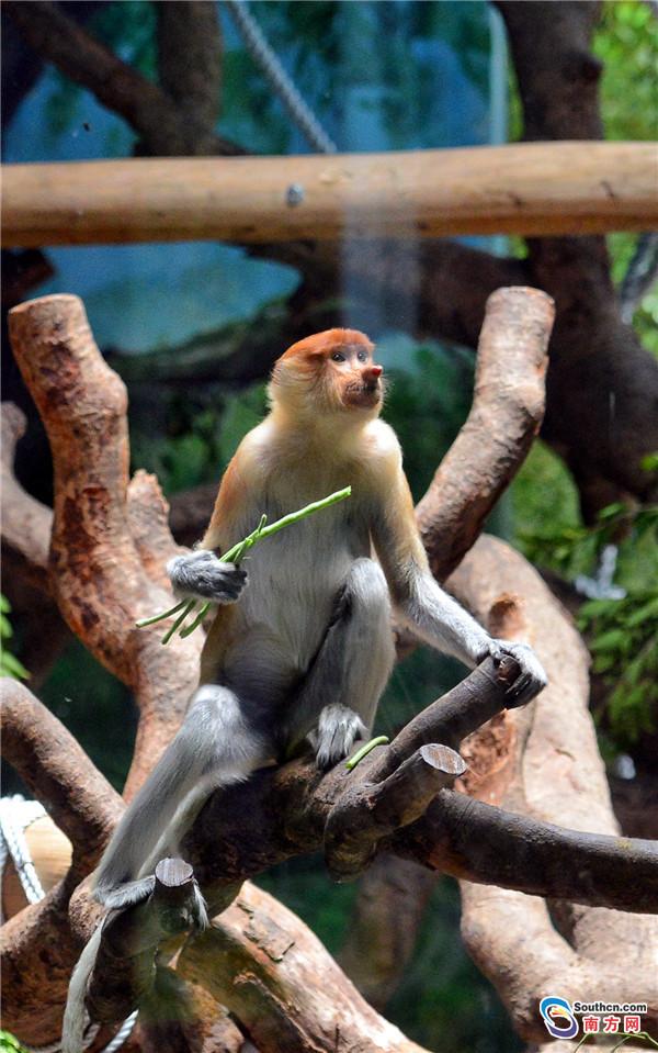 大鼻猴2 男4女来自两个家庭     大鼻猴是群居性动物,一般以10-20只个体为一个家族。雄性大鼻猴比雌性大鼻猴体型大很多,而且只有成年的雄性才有大大的鼻子。又因为雄性的生殖器一天里有超过三分之二的时间都处在坚挺的状态,所以大鼻猴又有金枪不倒的外号。    作为中国首次引进大鼻猴,这次长隆野生动物世界从印尼引进的大鼻猴一共有6只,分别来自两个家庭。1号家庭为一雄性、一雌性;2号家庭由一雄性和三只雌性组成。    据饲养员介绍,它们来到新家之后都适应得很快,现在都很健康。平时它们喜欢聚在一起,待在