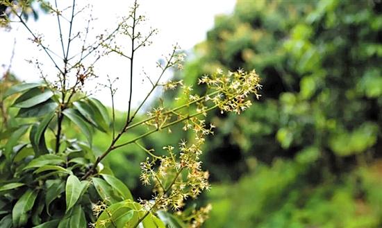气温偏高荔枝树见叶不见花 荔枝收成将出现减产