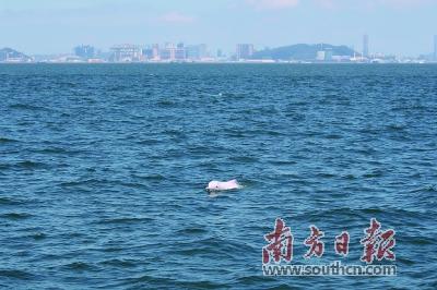 珠江口中华白海豚累计识别2381头 约占全国一半