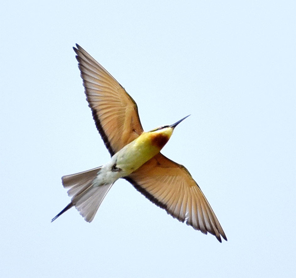 """""""中国最美丽的鸟""""――栗喉蜂虎鸟飞临广东饶平县"""