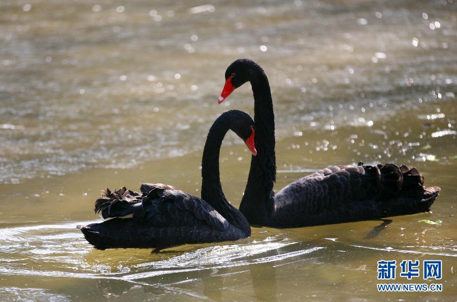 山森林动物园的两只黑天鹅在池塘中游动.-雪后享暖阳图片