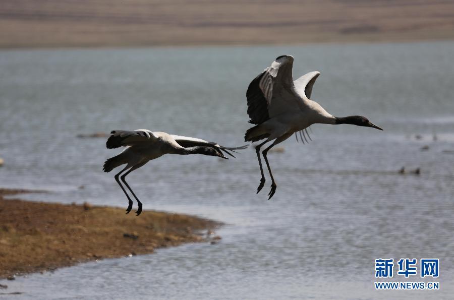 是国家一级重点保护野生动物