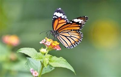 幻紫斑蝶等蝴蝶到荷包岛蝴蝶谷