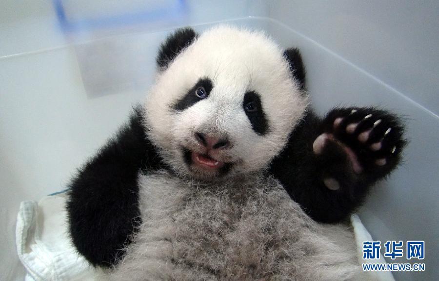 """大熊猫宝宝""""圆仔""""出生至今从未公开露面,台北市动物园工作人员拍摄的"""