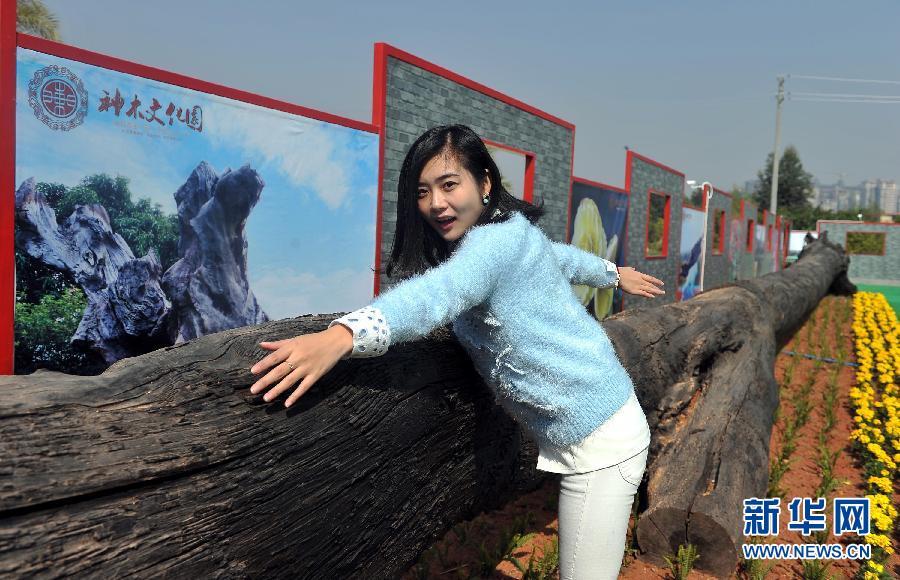 广州神木文化园内一根被列入世界基尼斯之最的香樟阴沉木长达15.79米、重达31吨,生长1800年,埋藏逾5400年(1月23日摄)。 1月23日,汇聚8719条乌木的神木文化园在广州番禺开园。乌木又称阴沉木、中华神木,在三千至四万年前,由于地壳运动,地震、洪水、泥石流将地面树木埋入河床下,在缺氧、高压状态及微生物的作用下炭化而形成。新华社记者刘大伟摄