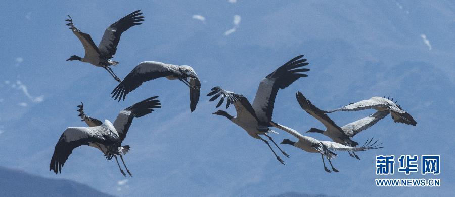 几只黑颈鹤飞翔在日喀则上空(3月1日摄)。随着天气转暖,在西藏日喀则地区越冬的黑颈鹤即将踏上迁徙的旅程。黑颈鹤是国家一级保护动物,也是世界上唯一生长繁殖在高原的鹤,在藏族群众眼里,它们是神圣、吉祥的符号。新华社记者 普布扎西 摄
