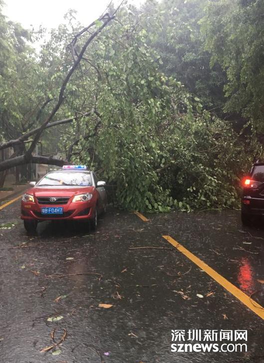 实拍台风天深圳倒塌的树木