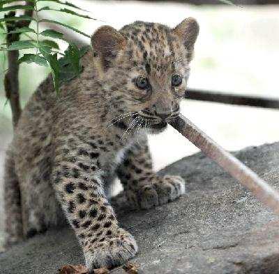 济南动物园繁育一级保护动物金钱豹幼崽