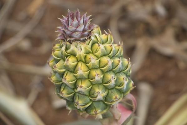 菠萝头扎法步骤图解
