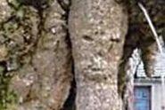 """老银杏树长出""""人脸"""""""