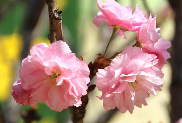 春寒櫻花開 山谷秀色添暖意