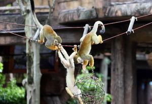 河馬泡冰泉,猴子吃雪糕,動物避暑有妙招