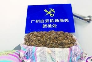 36公斤穿山甲鱗片藏枕芯床單欲闖關 已被廣州海關截獲