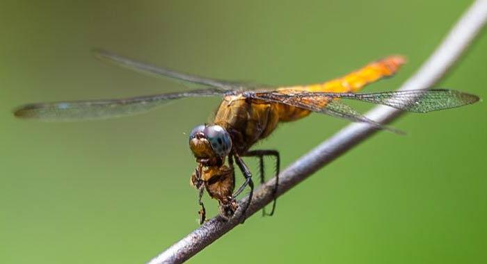 (視·覺)蜻蜓捕食