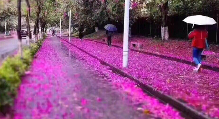 羊城下了一場紫荊花雨 驚艷了這個冬天