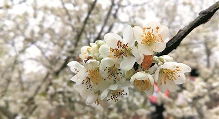 肇慶廣寧木格鎮2000畝山楂樹花開如雪