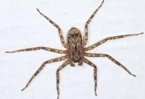 研究说拟扁蛛是转身最快的陆地动物