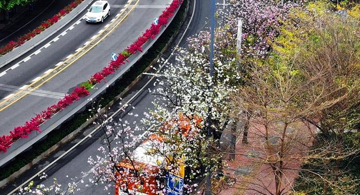 羊城早春紫金花開燦爛