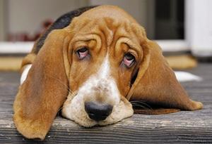 """狗狗犯错后的""""委屈脸"""" 并不是内疚的表现"""