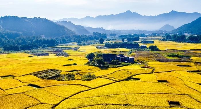 稻子熟了!鳥瞰夏日豐收美景圖