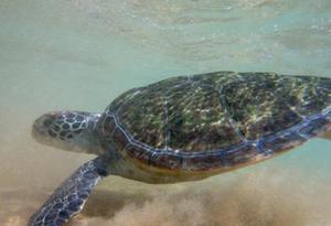 海龜為什麼選擇在惠東産卵? 揭開海龜産卵繁殖的秘密