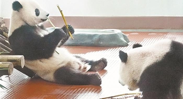 廣州動物園:熊貓寶寶成年啦!