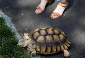 龜兔賽跑,烏龜能贏?科學家:烏龜一生走的路比兔子多