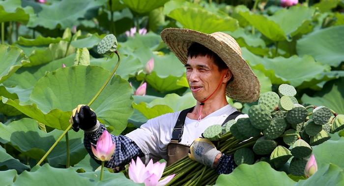 廣州從化:荷花豐收扮靚鄉村振興路
