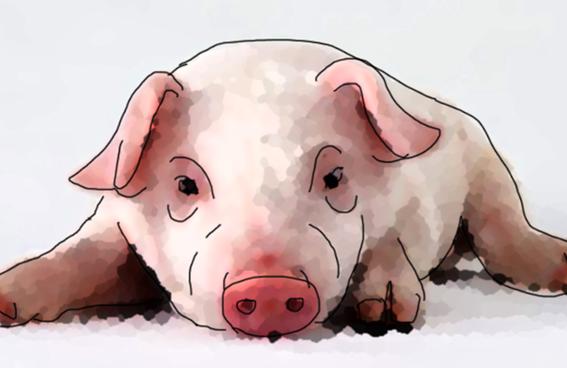 科普|小豬能辨別人臉?
