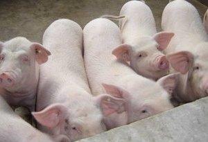 """異種移植:豬的器官""""得天獨厚"""""""