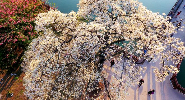 冬日羊城低空細品一樹成景