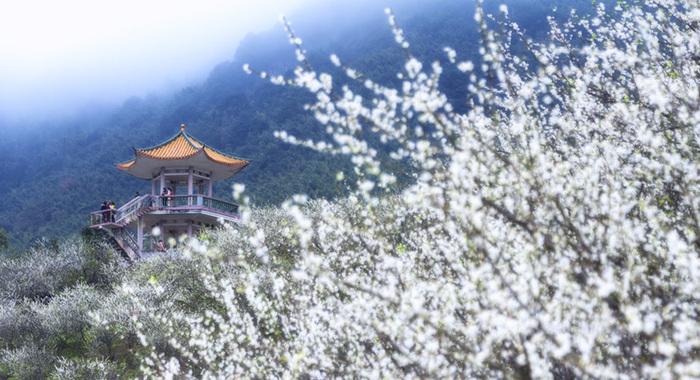 【微視頻】廣州:十裏梅林似香雪