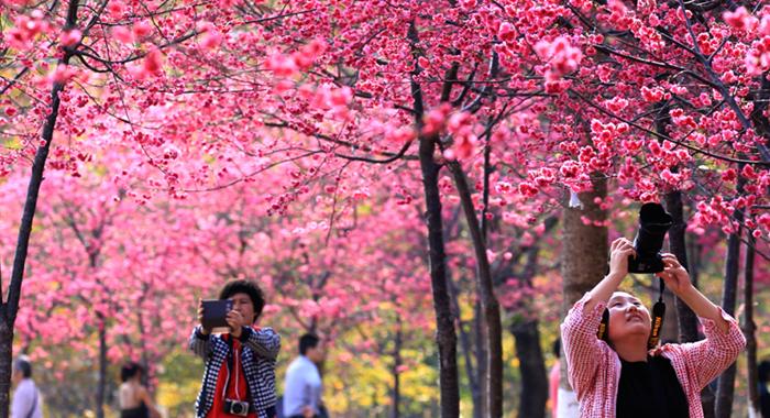 櫻花綻放惹人醉 滿園芬芳風情濃
