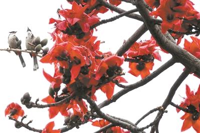 北方正月飛雪飄 廣州滿城木棉紅