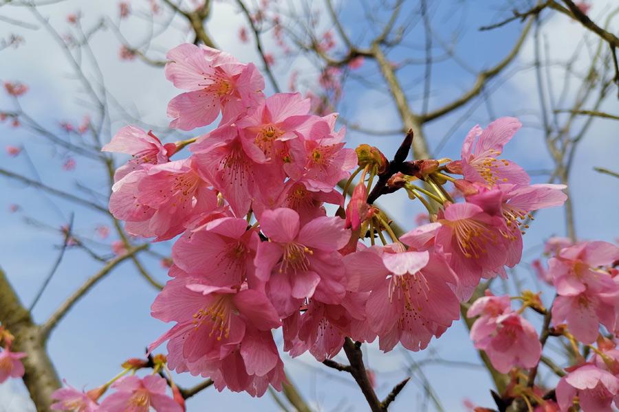 在韶關這個高鐵站竟能看到這麼美的櫻花(組圖)