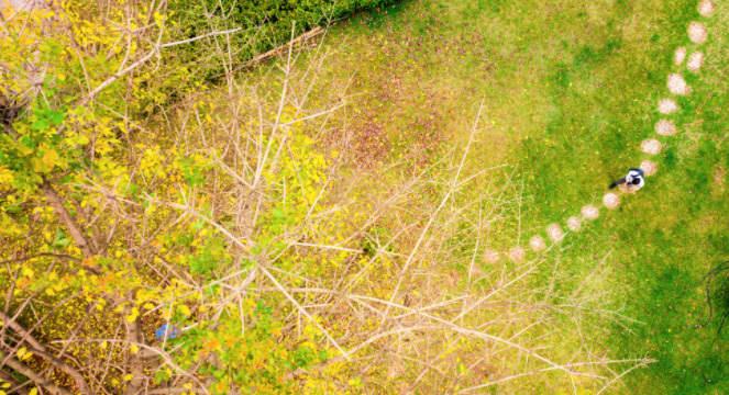 杜鵑花開正盛,大葉榕撒下一地金黃
