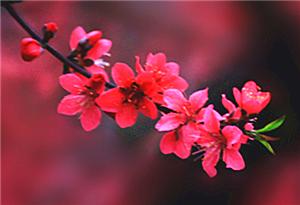 三月春來早 十裏桃花香