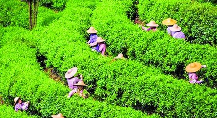 明前茶飄香 茶農採茶忙