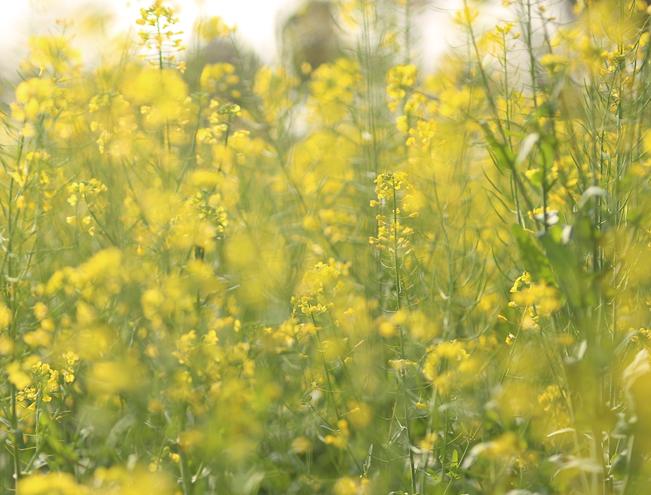 四月芳菲花似錦 黃萼裳裳綠葉稠