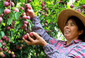 航拍從化呂田:三華李豐收,果農笑開顏
