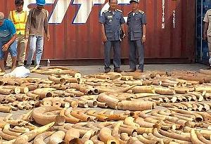 廣東打掉走私象牙團夥 查證走私象牙30余噸